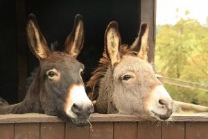 donkeys-1220250_1920 (2) (300x200)